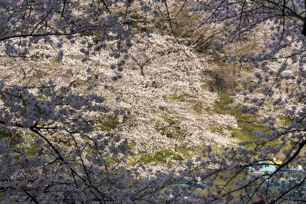 Chidori-ga-fuchi, Tokyo  PHOTOGRAPHY: Alexander J.E. Bradley •NIKON D500 • AF-S NIKKOR 24-70MM ƒ/2.8G ED @ 42MM • ƒ/16 •1/125 •ISO 400