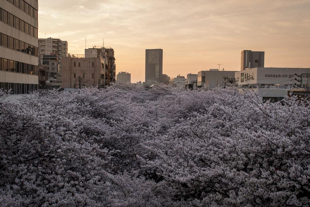 Naka-meguro, Tokyo  PHOTOGRAPHY: Alexander J.E. Bradley •NIKON D500 • AF-S NIKKOR 24-70MM ƒ/2.8G ED @ 24MM • ƒ/4 •1/125 •ISO 100