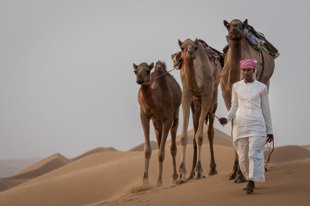 Camels at Sharqiya Sands