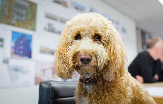 Basil  Chief Morale Officer !  Basil works tirelessly at his role as CMO, on visiting the studio you will be greeted by our very enthusiastic apricot cockapoo.