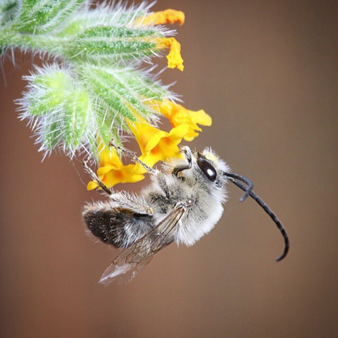 Long Horned Bee (Eucera longicornis)