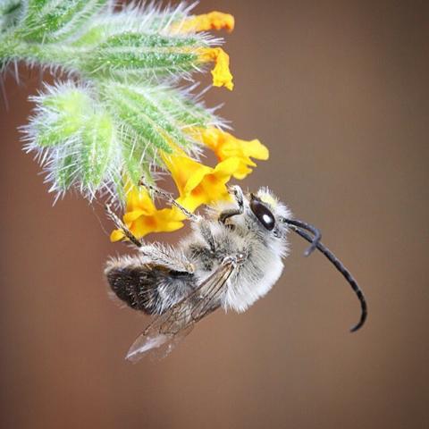 Long Horned Bee (Eucera longicornis)