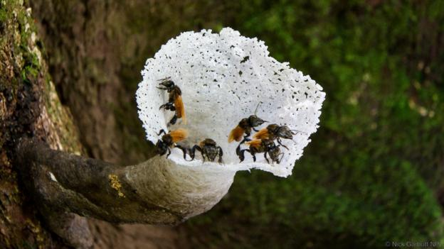 Some stingless bees (Trigona sp.) like to eat rotting flesh (Credit: Nick Garbutt/NPL)