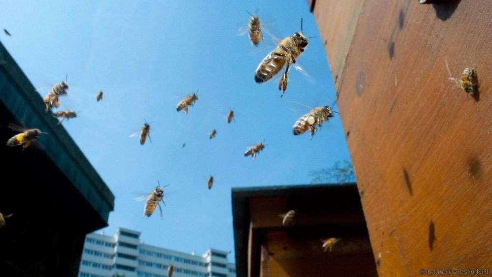 We have made European honeybees part of our daily lives (Credit: Laurent Geslin/NPL)