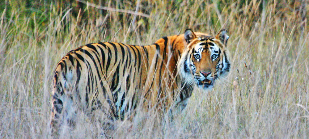2 - India, Tiger (1000x450).jpg