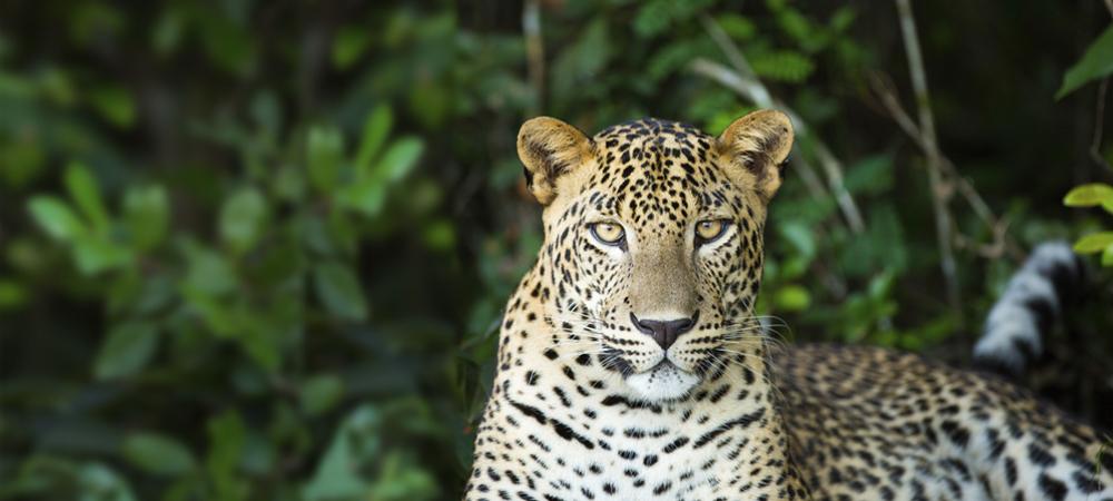 7 - Sri Lanka, Leopard (1000x450).jpg