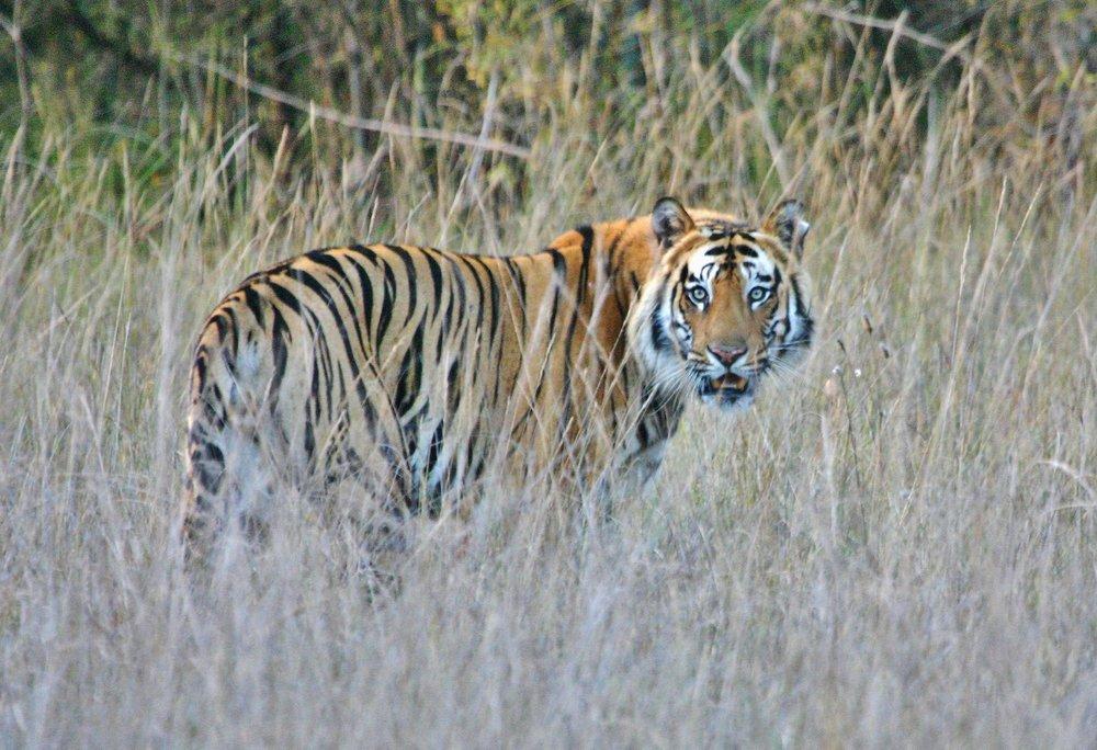 2 - India, Tiger.jpg