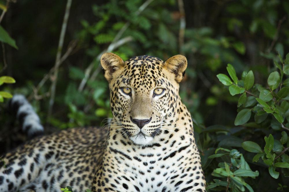 7 - Sri Lanka, Leopard.jpg