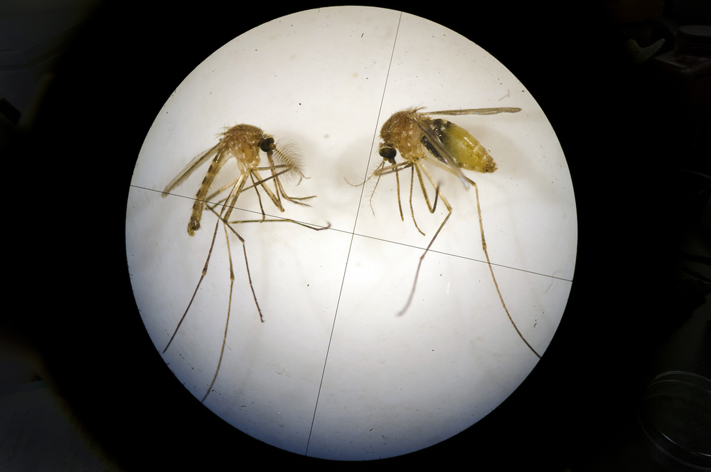 Mosquitos sit under a microscope in a UNT laboratory Wednesday afternoon. Once under the microscope, it is easy for scientists to determine which is male, left, and female, right.