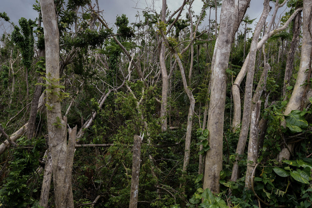 The vegetation is slowly starting to regrow after Hurricane Maria hit Puerto Rico in September.