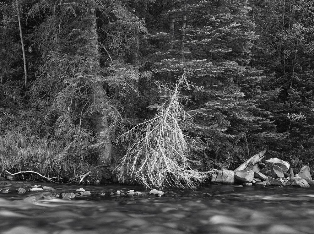 Dead Spruce along stream