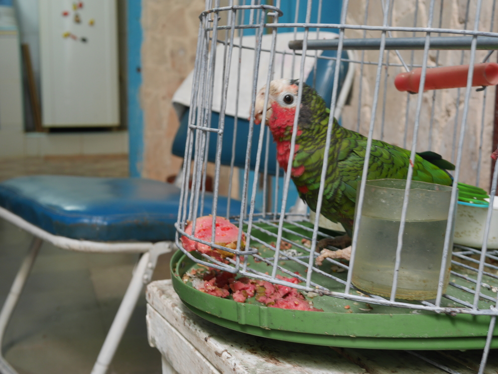 Coti the parrot loves his guava treat in the morning and having whistling conversations with guests.