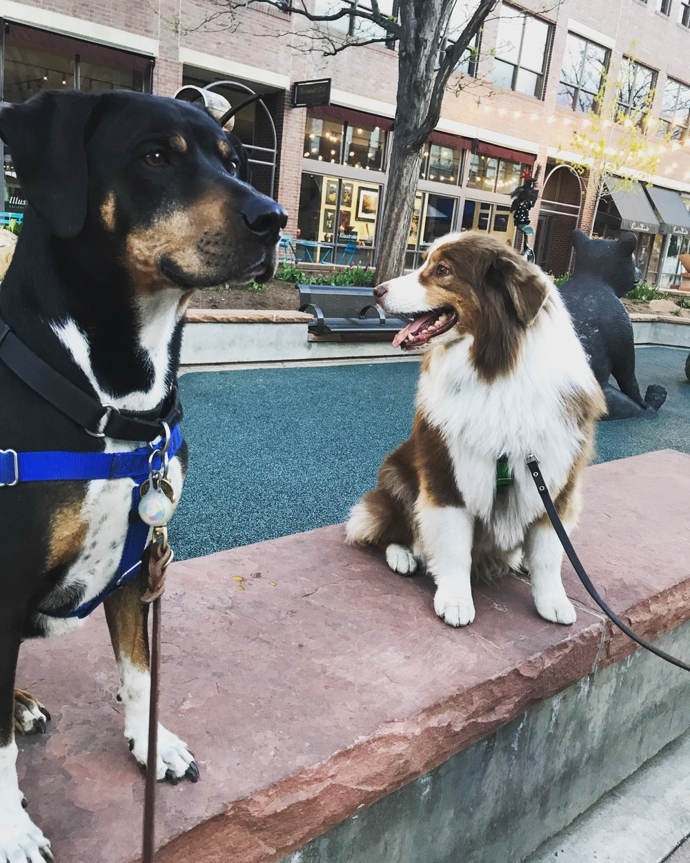 """I was going to add a picture of an embedded prong collar. But as my intention is not so shock, scare, anger, or otherwise flame counterproductive emotions with this discussion, I decided to include a picture of our handsome boys rocking their harnesses in Old Town instead. But you can always google """"embedded prong collar"""" if you want."""