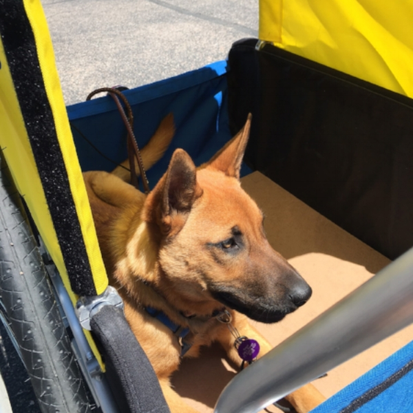 June Bug loves to ride in the trailer!