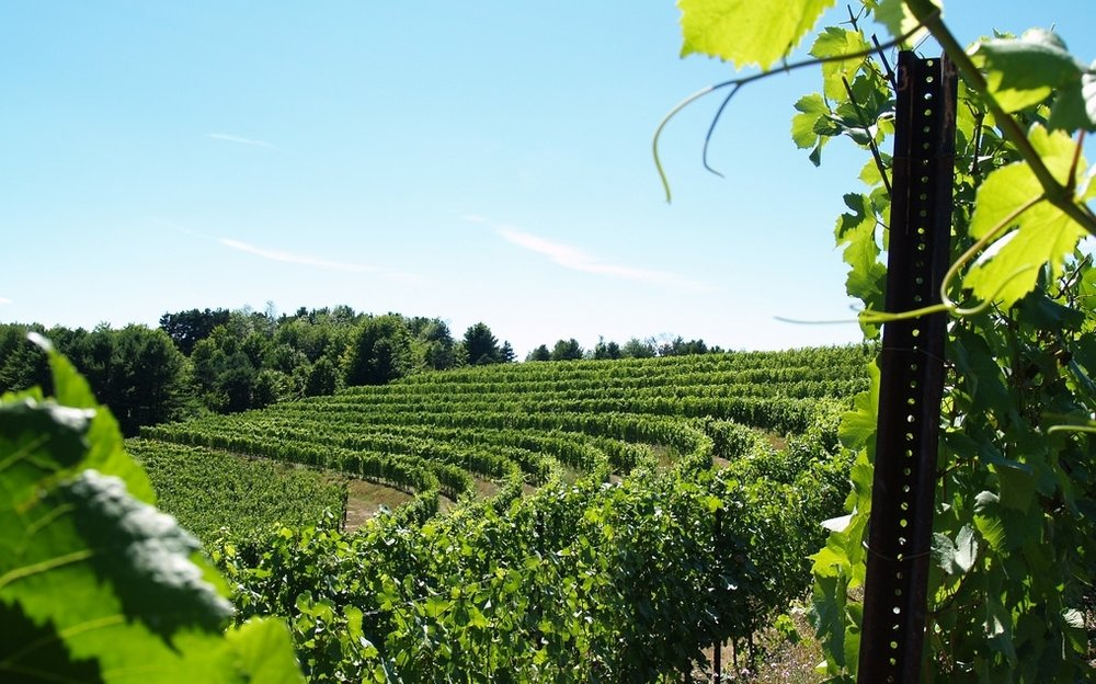 Looking green: one of the vineyards at Black Star Farms near the village of Suttons Bay (Image:  Flickr )