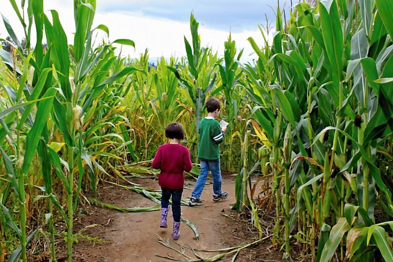 corn maze3.jpeg