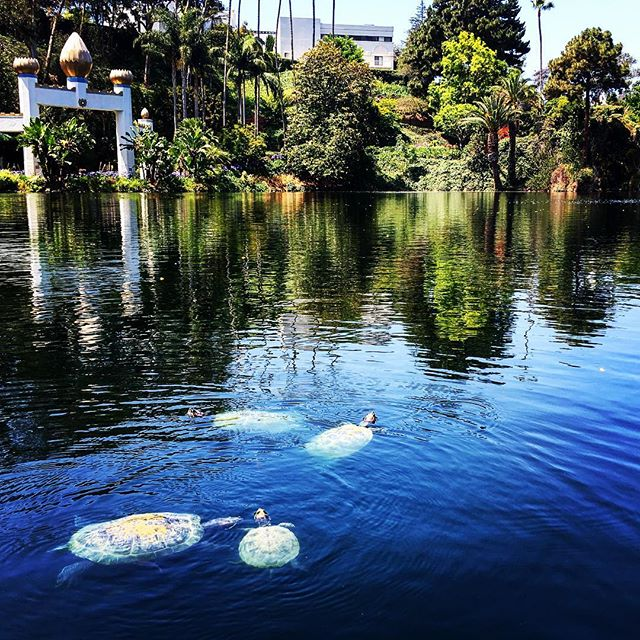 Peaceful summer. #LakeShrine #LosAngeles #turtle #nature