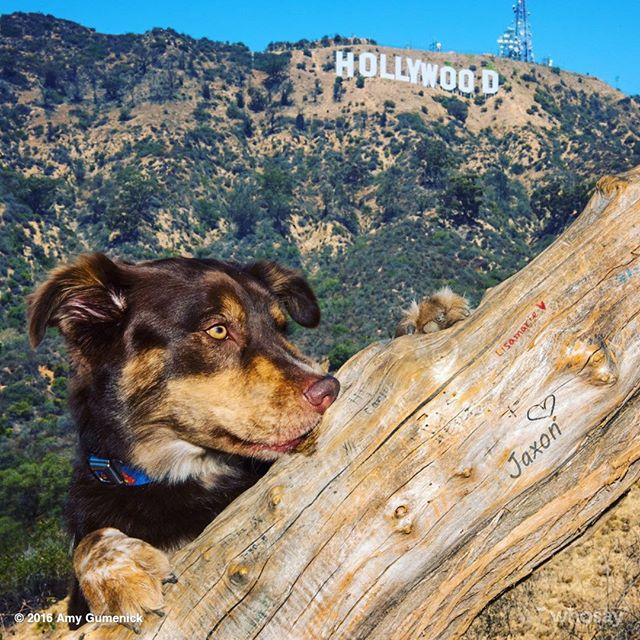 "Thank you @popcornpawsdogphotography for capturing our #HollywoodPup!!! We can't can't a to see the rest of your stunning work! We ""woof"" you! ❤️🐶 #StayJax #Puppylove #Jaxon #Hollywood #superdog #dogsofinstagram"