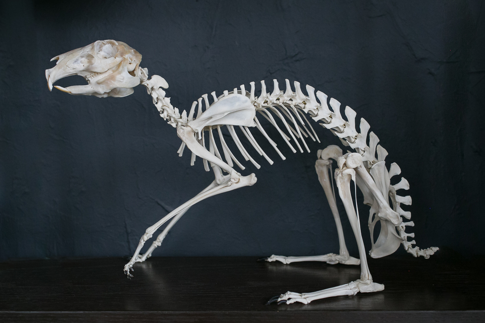 Cavy Skeleton - SOLD