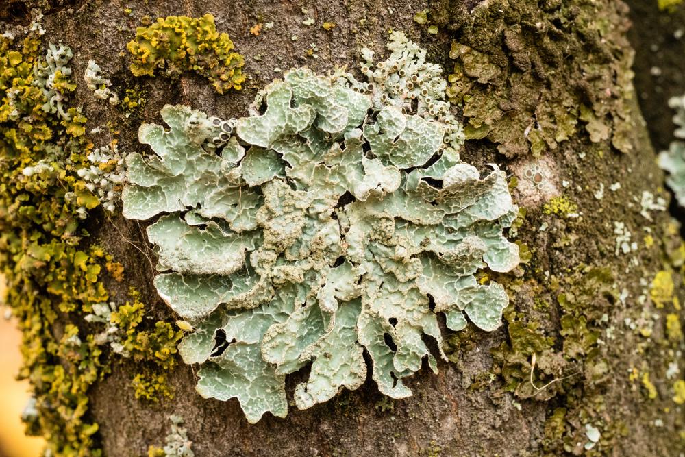 Parmelia-sulcata-3-Roxy-Hastings.jpg