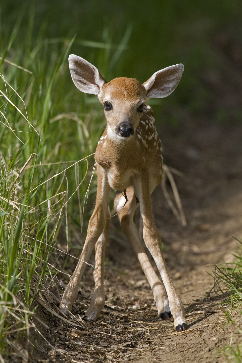 White-tailed fawn by Gerald Romanchuk