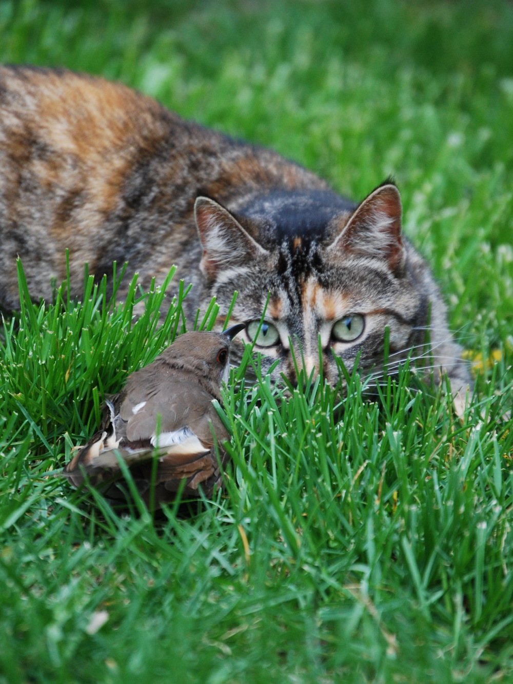 Cats kill millions of songbirds each year. Photo: Matthew Sakiestewa Gilbert