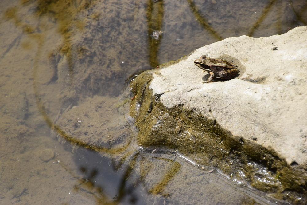 wood frog - EALT.JPG
