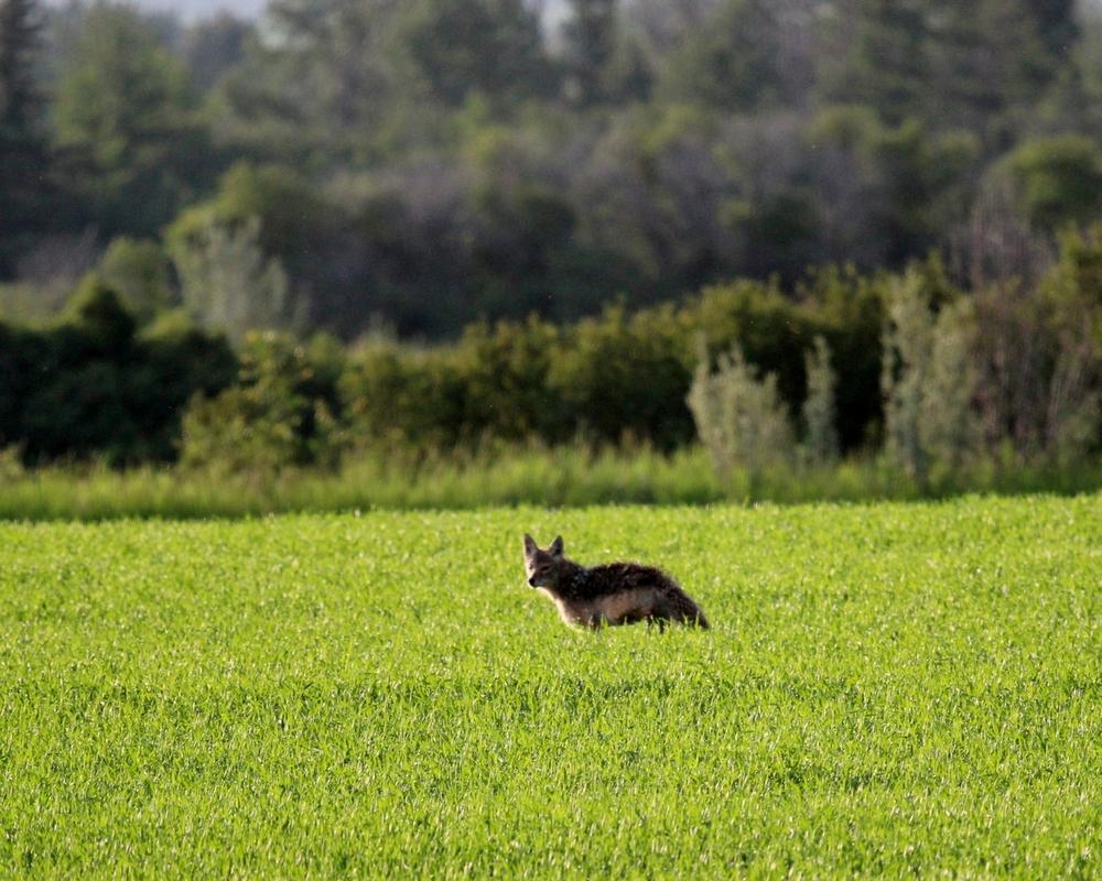 coyote - Dorothy Monteith.JPG