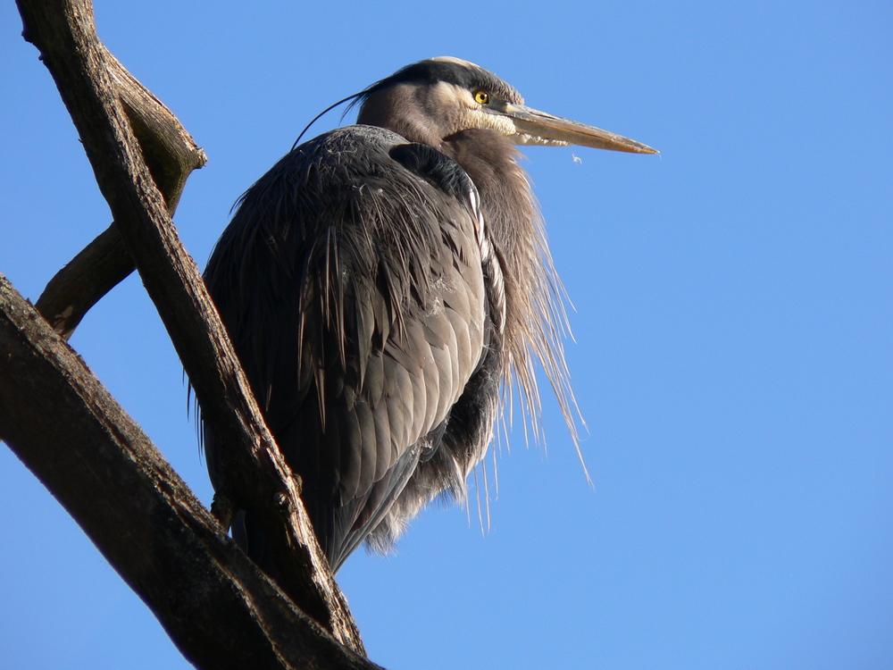 Perched Heron by Doris May