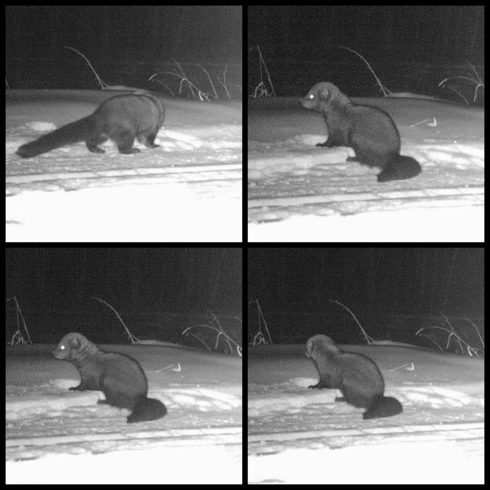 Fisher on our Wildlife Camera at Glory Hills