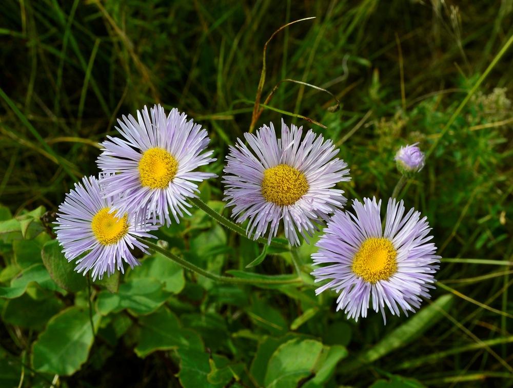 fleabane flowers - Hil Reine.JPG