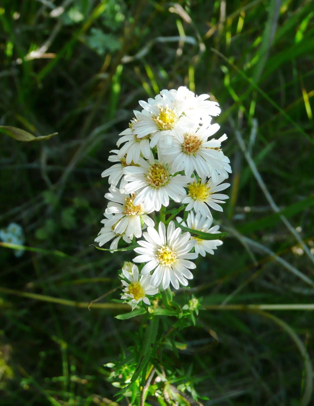 white prairie aster    M Reine.JPG