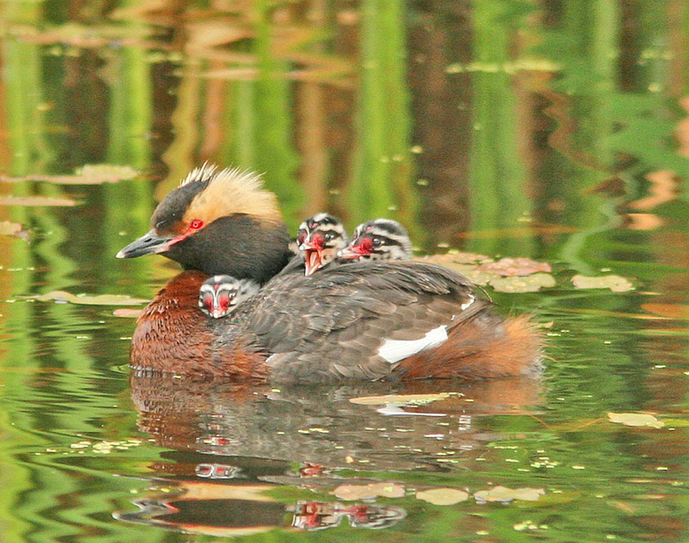 Horned Grebe family by Don Delaney