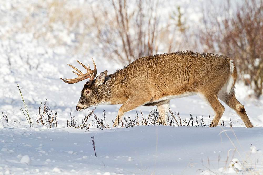 White-tailed Buck by Gerald Romanchuk