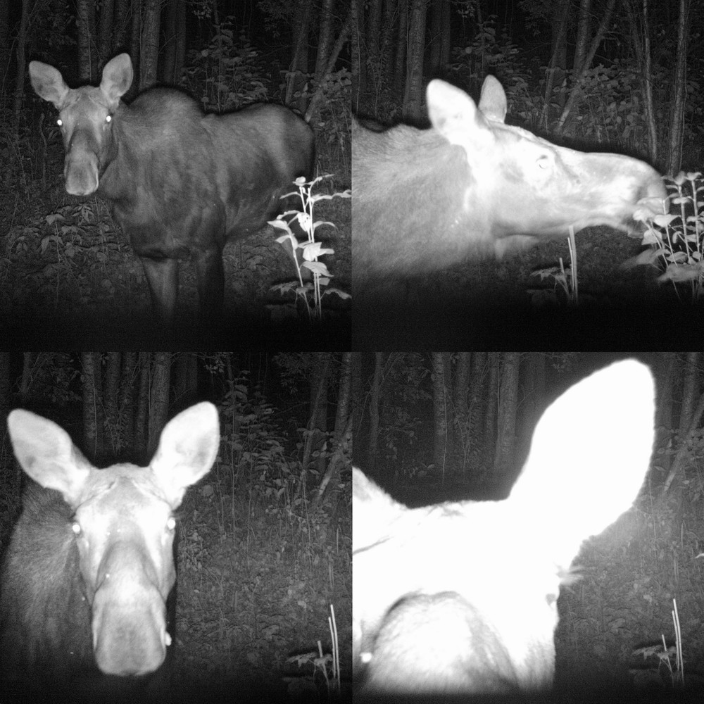 Curious moose checking out our Glory Hills Wildlife Camera