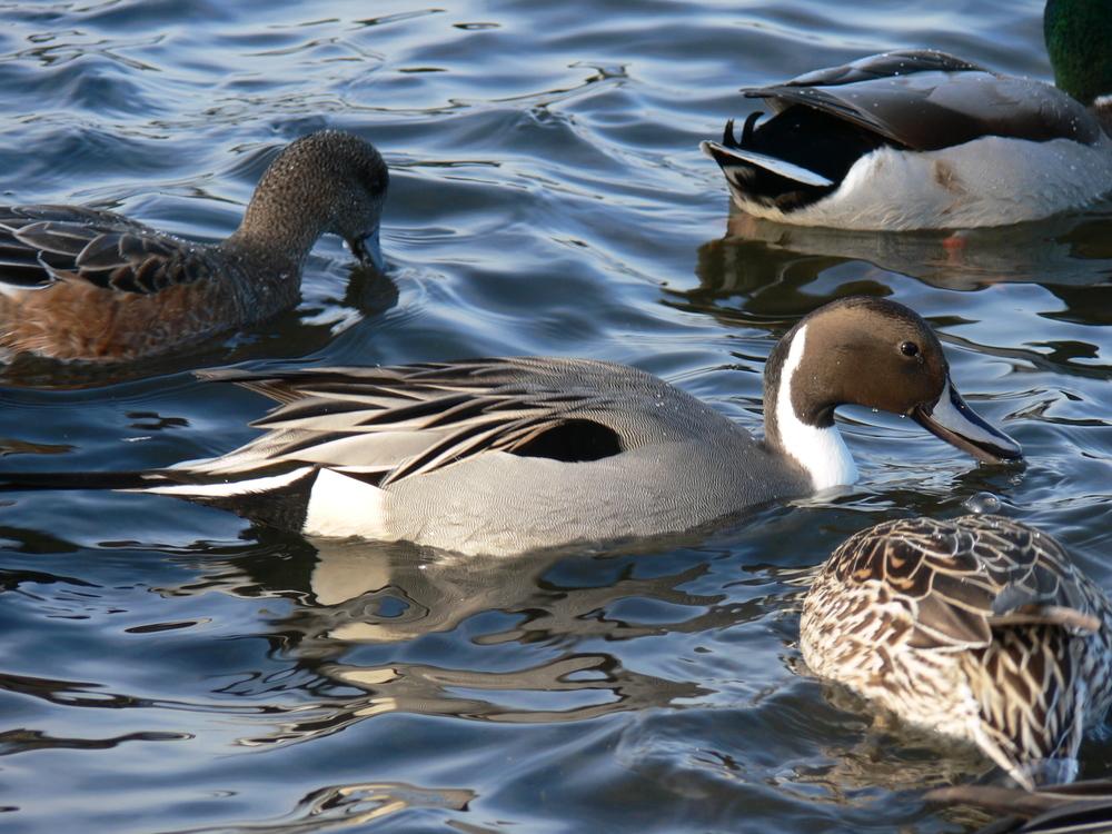 Assorted Ducks - Doris May.JPG
