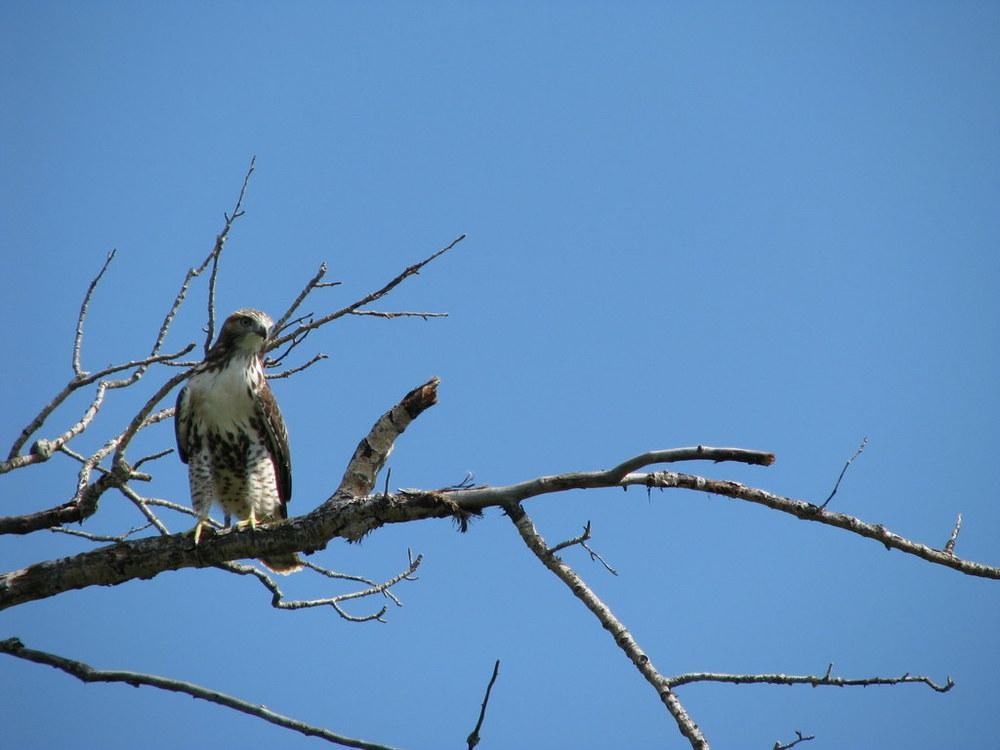 juvenile red tailed hawk - EALT.JPG