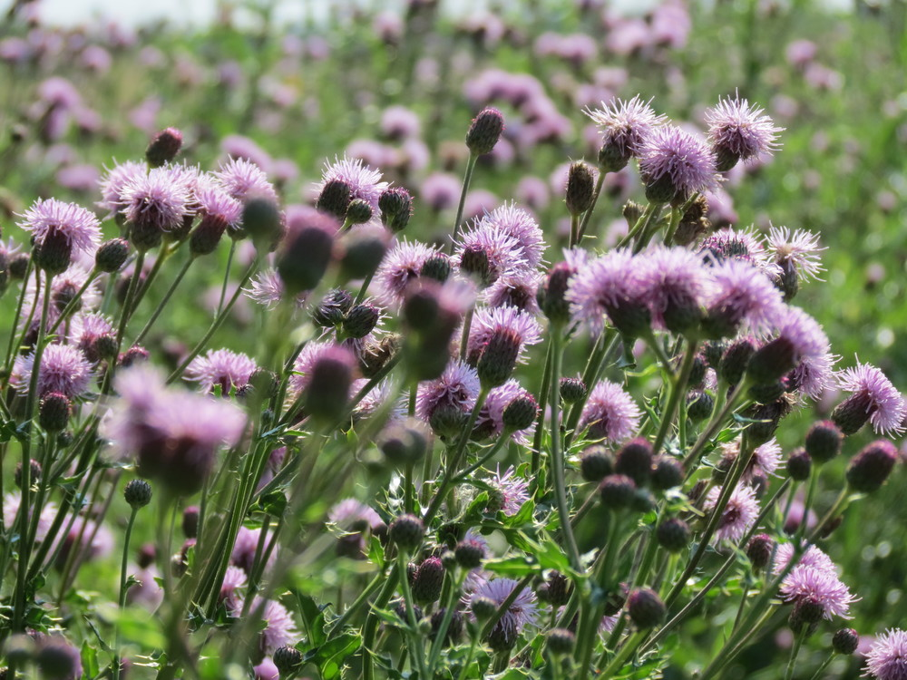 Canada thistle. How many seeds would be produced by the flowers in this photo?