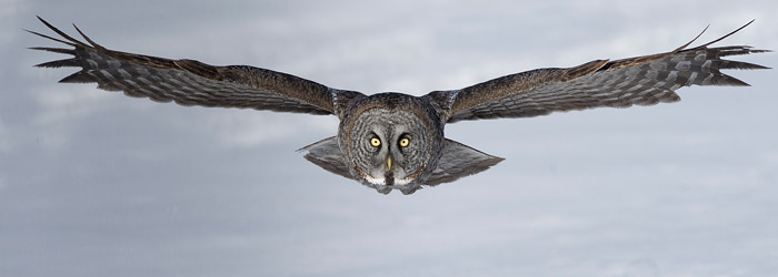 Great Grey Owl by Gordon Court