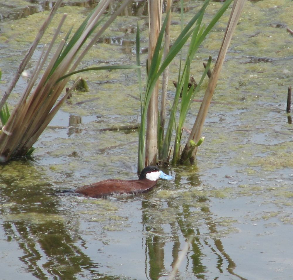 Male Ruddy  Duck with brilliant blue bill.