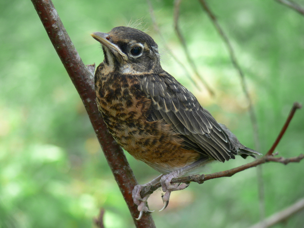 Robin Fledgling - Doris May.JPG