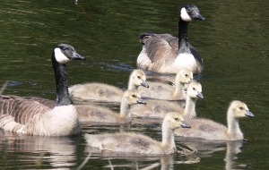 A Canada Goose family with 6 goslings, or baby geese