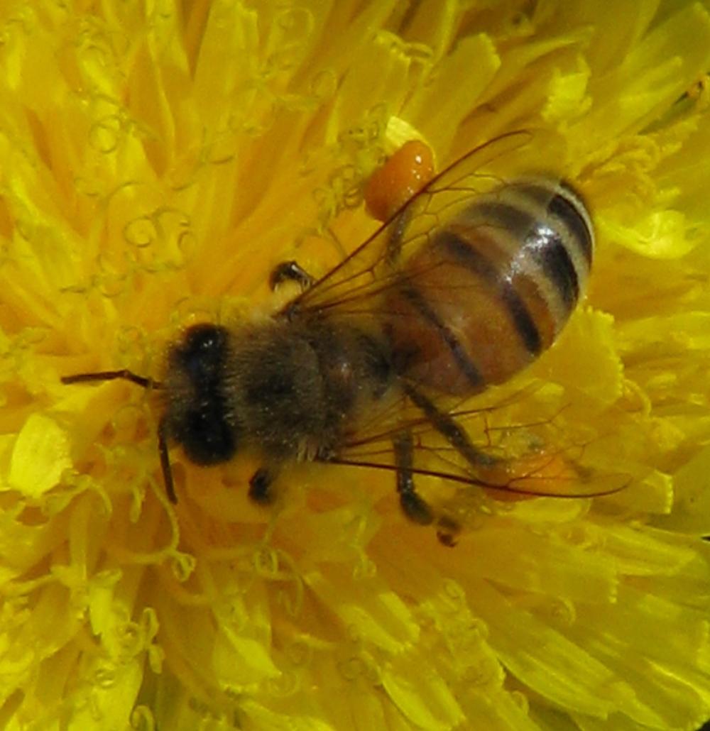 Honey Bee- EALT