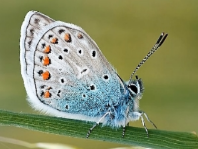 "Some butterflies, such as ""blues"" like this one, may look like moths, but can still be distinguished by the bulb on top of the antennae"