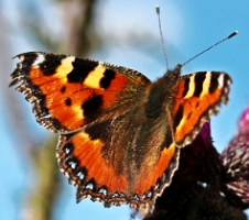 Butterflies have club-shaped antennae
