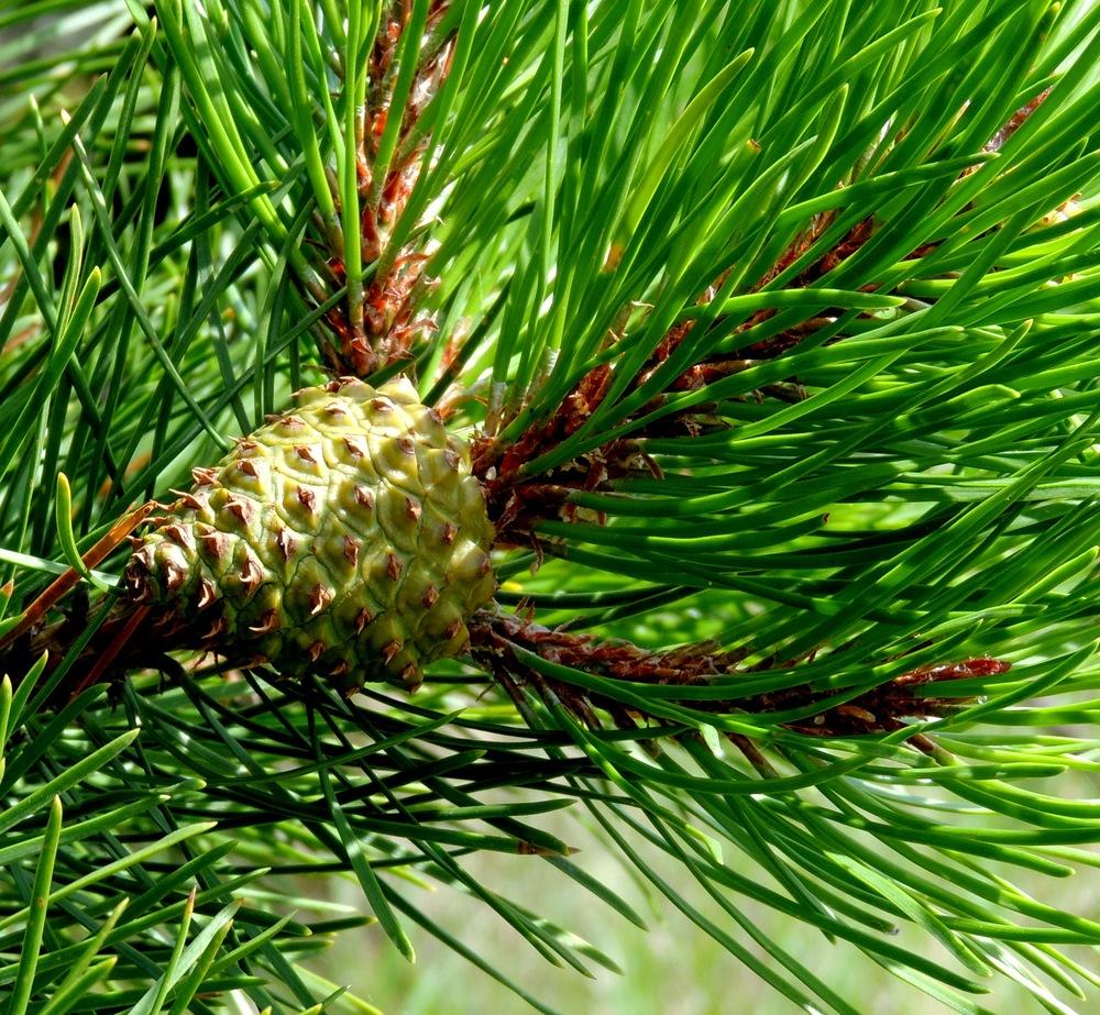 Unripe Pine cone