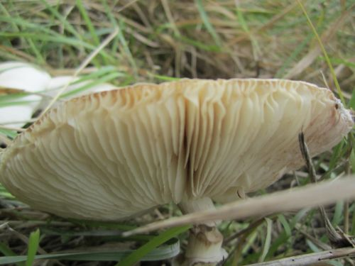 The gills on the underside of a mushroom. Photo by Mo Sellman.