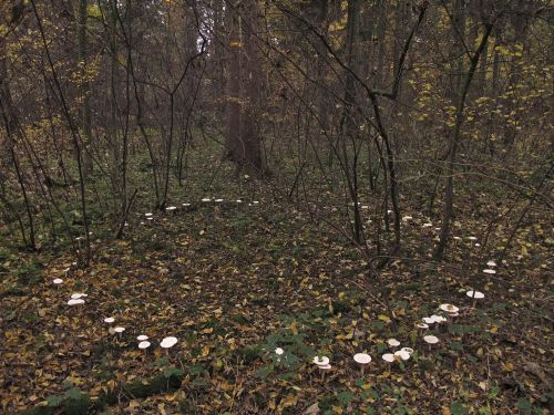 Woodland fairy circle. Photo: Sporulator at Mushroom Observer via  Wikimedia Commons