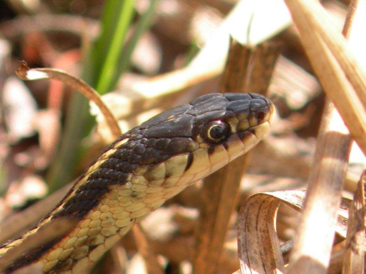 garter snake.jpg