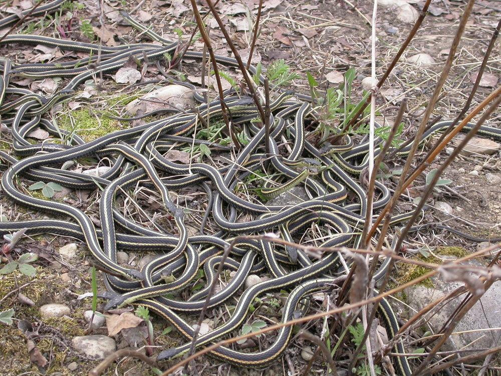 garter snakes  - Hil Reine.JPG